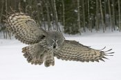 Jan Vermeer - Great Grey Owl, Finland