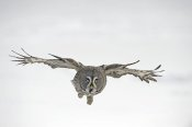 Jan Vermeer - Great Grey Owl flying, Finland