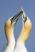 Jan Vermeer - Northern Gannet pair courting, Saltee Island, Ireland