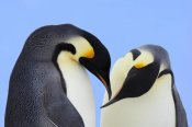 Jan Vermeer - Emperor Penguin pair courting, Snow Hill Island, Antarctica