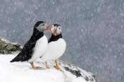 Jan Vermeer - Two Atlantic Puffins, in snowfall, Hornoya, Varanger, Norway