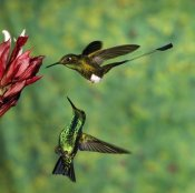 Tom Vezo - Booted Racket-tail hummingbird and Western Emerald hummingbird, Ecuador