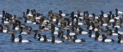 Tom Vezo - Lesser Scaup flock on lake, North America