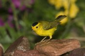 Tom Vezo - Wilson's Warbler male, Rio Grande Valley, Texas