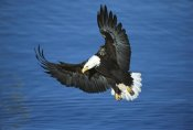 Tom Vezo - Bald Eagle flying over water, Kenai Peninsula, Alaska