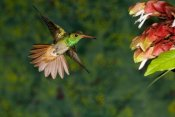 Tom Vezo - Rufous-tailed Hummingbird feeding at flower, Costa Rica