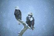 Tom Vezo - Bald Eagles perched on snag in snow, Kenai Peninsula, Alaska