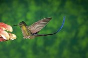 Tom Vezo - Violet-tailed Sylph hummingbird visiting flower, Andes, Ecuador