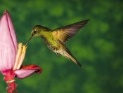 Tom Vezo - Buff-tailed Coronet hummingbird feeding on flower, Andes, Ecuador
