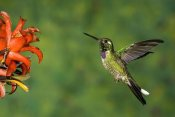 Tom Vezo - Purple-bibbed Whitetip hummingbird hovering near flower, Andes, Ecuador