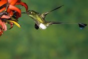 Tom Vezo - Booted Racket-tail hummingbird male feeding at flower, western slope of Andes, Ecuador