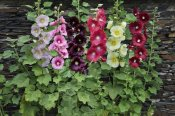 VisionsPictures - Holly Hock flowers