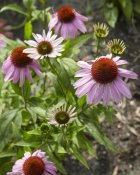 VisionsPictures - Coneflower flowers