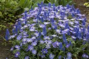 VisionsPictures - Greek Anemone flowers