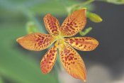 VisionsPictures - Blackberry Lily flower