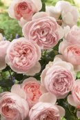 VisionsPictures - Rose heritage variety flowers