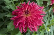 VisionsPictures - Dahlia bangkok variety flower