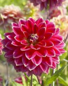 VisionsPictures - Dahlia optimist variety flower