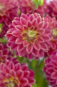 VisionsPictures - Dahlia optimist variety flowers