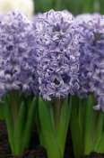 VisionsPictures - Hyacinth skyline variety flowers