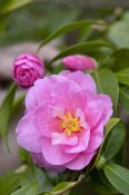 VisionsPictures - Camellia donation variety flower