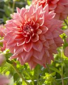 VisionsPictures - Dahlia beverly fly variety flower