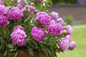 VisionsPictures - Peony double pink variety flowers