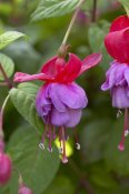 VisionsPictures - Fuchsia red and blue variety flower