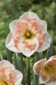 VisionsPictures - Daffodil pink wonder variety flowers