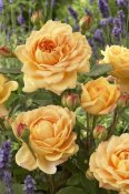 VisionsPictures - Rose golden celebration variety flowers