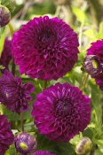 VisionsPictures - Dahlia boom boom purple variety flowers