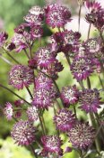 VisionsPictures - Astrantia dark shiny eyes variety flowers