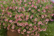 VisionsPictures - Calibrachoa noa peach eye variety flowers