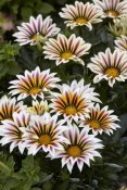 VisionsPictures - Gazania big kiss white flame variety flowers