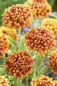 VisionsPictures - Blanketflower dakota reveille variety flowers