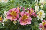 VisionsPictures - Peruvian Lily princess lilies variety flowers