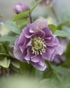 VisionsPictures - Hellebore double spotted purple variety flower