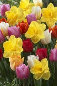 VisionsPictures - Daffodil lucky number variety, and Tulip flowers
