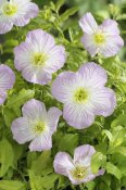 VisionsPictures - Mexican Evening Primrose golden summer variety flowers