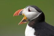 Jan Wegener - Atlantic Puffin yawning, Varanger Peninsula, Norway