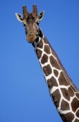 Winfried Wisniewski - Reticulated Giraffe close up, Africa