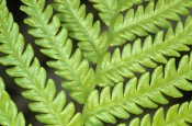 Winfried Wisniewski - Fern frond, detail, Big Island, Hawaii