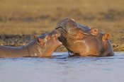 Winfried Wisniewski - Hippo mother with calf, Chobe National Park, Botswana