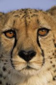 Winfried Wisniewski - Cheetah close up of face showing 'tear mark' pattern, Africa