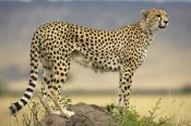Winfried Wisniewski - Cheetah on termite mound, Masai Mara National Reserve, Kenya