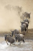 Winfried Wisniewski - Blue Wildebeest herd crossing the Mara River, Masai Mara National Reserve, Kenya