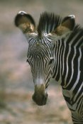 Martin Withers - Grevy's Zebra foal, Kenya