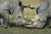 Martin Withers - White Rhinoceros close-up of two fighting, Kenya