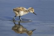 Martin Woike - Pied Avocet chick foraging, Texel Noord-Holland, Netherlands