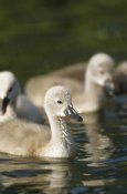Konrad Wothe - Mute Swan cygnets swimming in pond, Germany